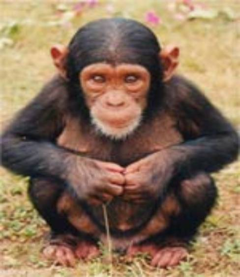 the chimpanzees was the main animal that benefited from jane s ... Chimpanzee Jane